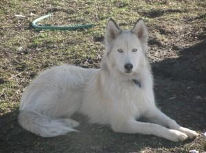 Wrigley the Siberian Husky